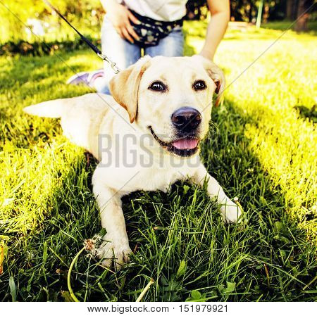 young happy dog retriever outside walking playing in green park close up
