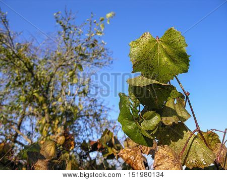 Withering on the vine leaves against the blue sky on a fine autumn day
