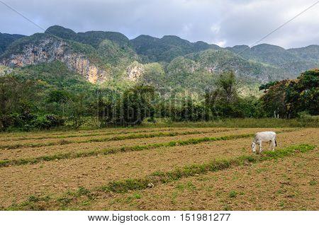 Cow In A Field In Vinales Valley, Cuba