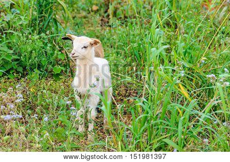 Goat baby in the Vinales Valley in Cuba