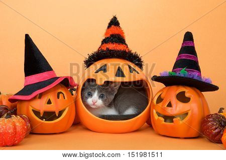 Small grey and white tabby kitten in the mouth of a pumpkin jar peeking out curiously. Jack o lanterns with witch hats and small pumpkins on an orange background. Halloween theme