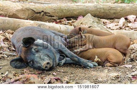 Pig mum feeding babies in the Vinales Valley in Cuba