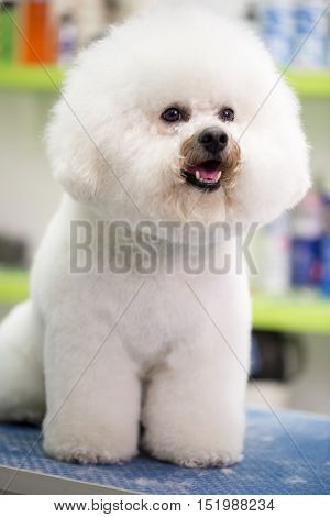 Portrait Bichon Fries on the table
