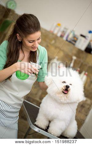 Woman spraying hairspray on bichon frise