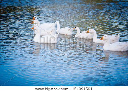 several white domestic ducks on a pond