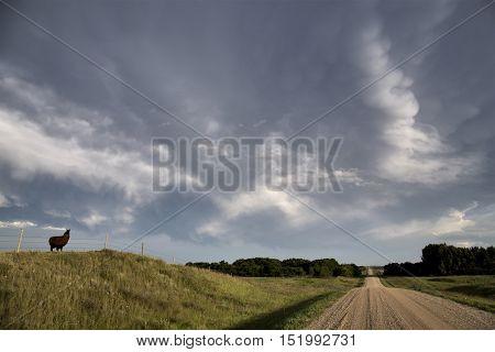 Storm Clouds Saskatchewan Prairie scene Llama scenic