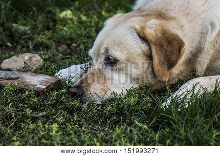 a fantastic labrador while resting in his garden