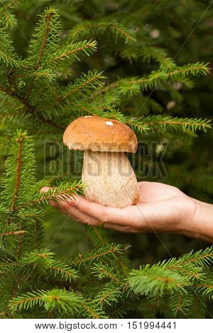 Harvesting Mushrooms. Fresh Edible Mushroom Porcini (Boletus Edulis) In Female Hand In Forest. Close Up.