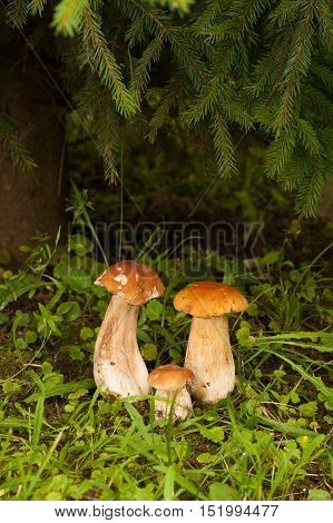 Boletus Edulis. In Forest Under Fir Tree Growing Three Edible Boletus Edulis. Mushroom Boletus Edulis Under Fir-Tree.