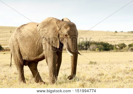 Just Eating Some Dry Grass - The African Bush Elephant