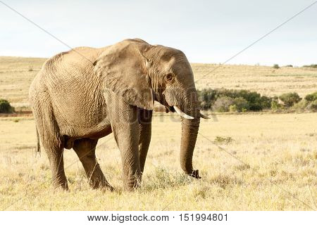 Trun Up And Lets Walk - The African Bush Elephant
