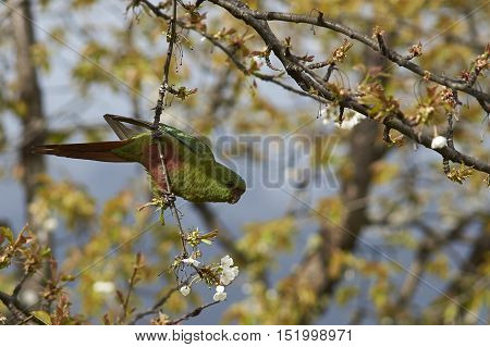 Austral Parakeet (Enicognathus ferrugineus) eating the buds and blossom on trees along the Carretera Austral in the Aysen Region of southern Chile.