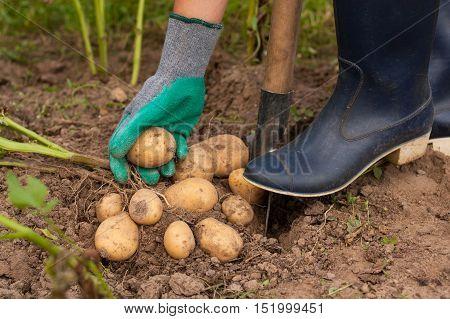 Harvesting Potatoes. Female Farmer Hold Fresh Potato In Her Hand Close To Ground. Fresh Potato. Harvest Time Season.