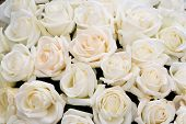 picture of white roses  - Many white roses grow in a garden - JPG