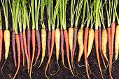 Fresh Clean Wet Assortment Of Organic Carrots poster