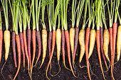 Fresh Clean Wet Assortment Of Organic Carrots poster