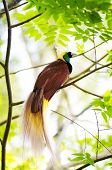 stock photo of papua new guinea  - Lesser Bird of Paradise or Paradisaea minor - JPG