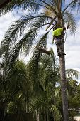 foto of arborist  - Tree Loper using chainsaw to trim up the branches of a Palm Tree - JPG
