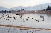 picture of nea  - A flock of birds (pigeons) flying in front of the little harbour of Nea Artaki Greece