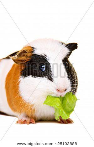 Cute guinea pig eating salad