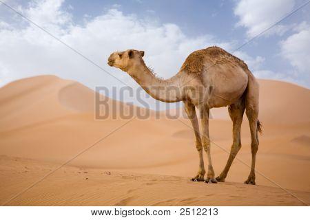 Camel In Sahara