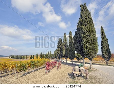 Treelined cypress road through tuscan vineyard