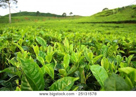 Field of tea plantation. Closeup on tea leafs