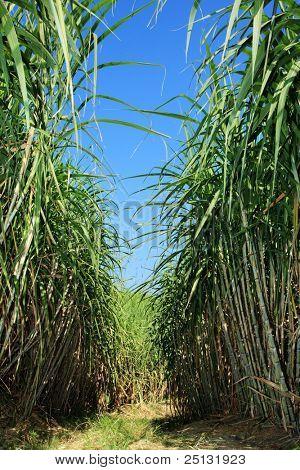 Field of sugar cane