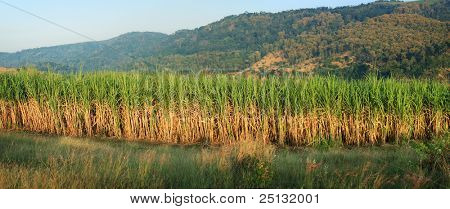 panoramic scenery of sugar cane plantation