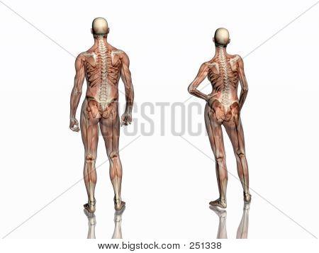 Anatomía, los músculos transparente con esqueleto.