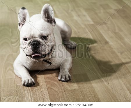 young french bulldog resting and showing the tongue on a wooden floor