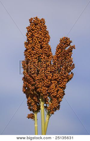 Ear Of Sorghum