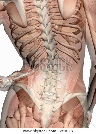 Anatomia, músculos Transparant com esqueleto.