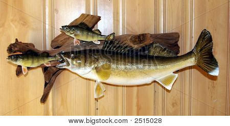 Walleye And Two Perch Mounted On Driftwood