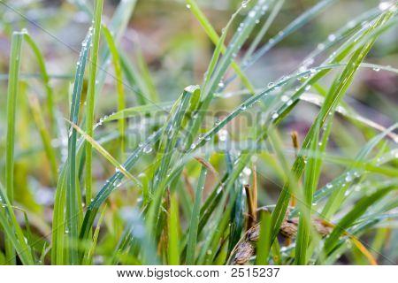 Grass With Drops After Rain
