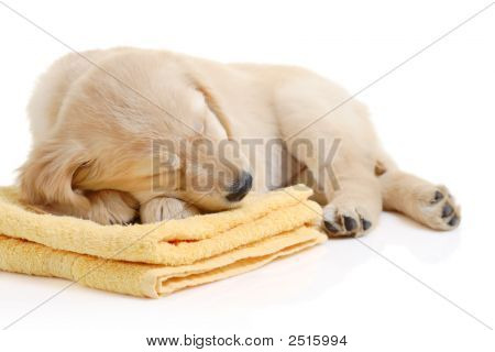 Golden Retriever Puppy Having A Nap