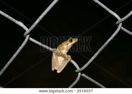 Frog On Fence