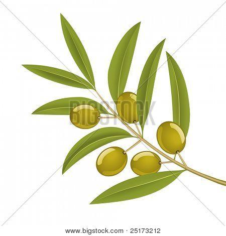 Green olives on branch, detailed vector illustration
