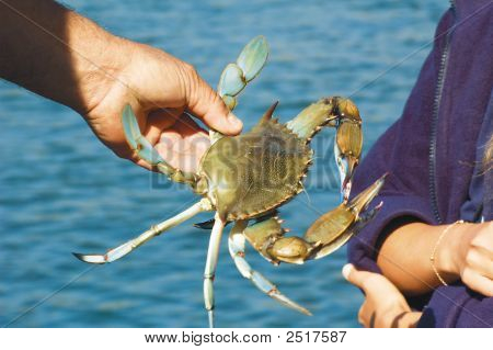Light Blue Crab