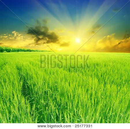 field of wheat on a background sunset