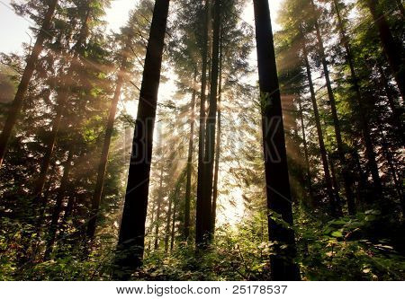 Sunlight through fir trees. Carpathian mountain morning.
