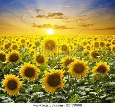 Paisagem de Verão: pôr do sol de beleza ao longo do campo de girassóis