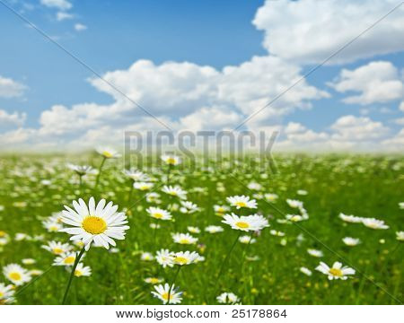 summer landscape - valley of flowering camomiles