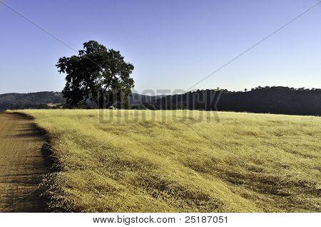 Lonely Oak in Rural State Park, California