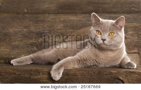 British  cat, rare color (lilac) ,  10 months old, sitting in front of vintage background