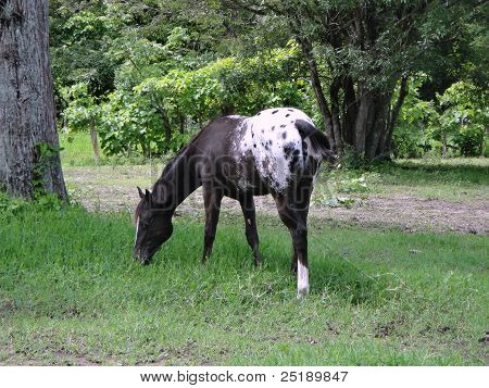 Black Appaloosa Filly