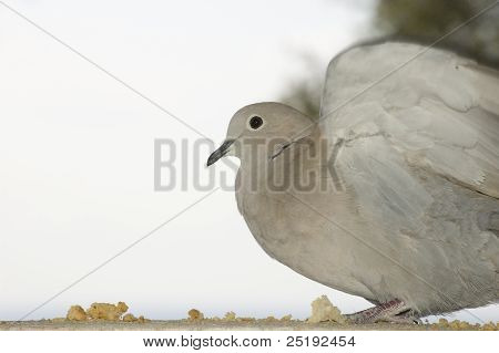 Close View of a turtledove