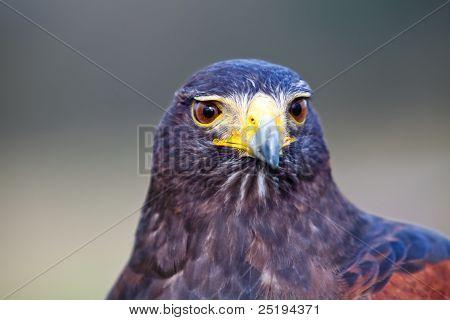 Predador de Falcão