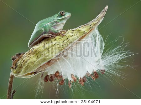 Green Tree Frog On Milkweed