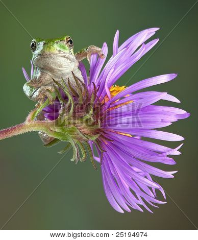 Grey Tree Frog On Aster